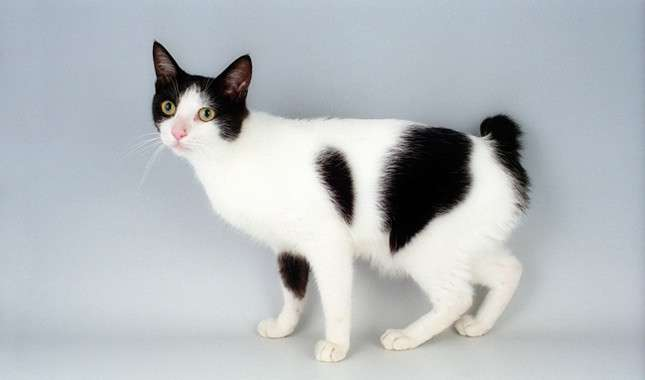 Японский кот: породы, описание, фото