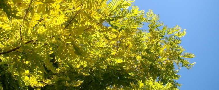 Карагана древовидная (акация желтая): описание, особенности посадки и ухода
