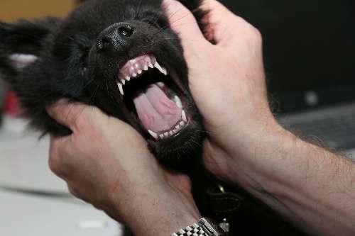 Когда меняются молочные зубы у собак? Уход за зубами собаки