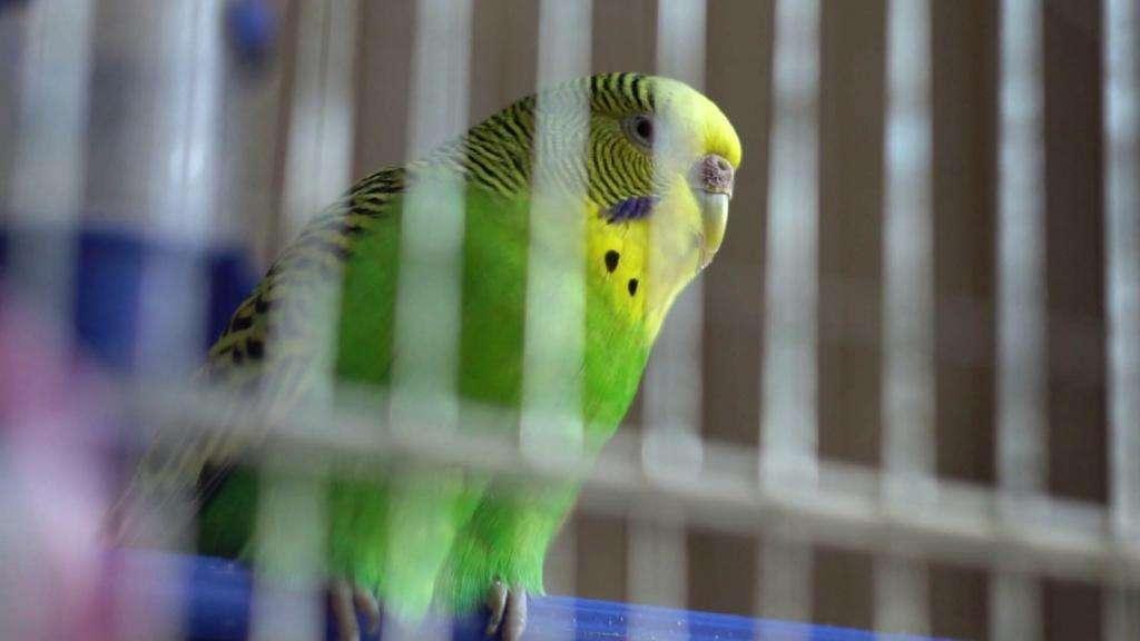 Почему волнистый попугай дрожит и часто дышит?
